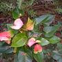 Anthurium andreanum - Anthurium (Anthurium andreanum - Anthurium)