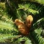 Encephalartos natalensis - Natal Cycad (Encephalartos natalensis - Natal Cycad)