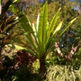 Ensete ventricosum - Abyssinian Banana (Ensete ventricosum - Abyssinian Banana)