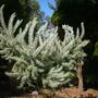 Acacia 'Couney' (Acacia 'Couney')