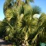 Sabal yapa - Bay Palmetto Palm (Sabal yapa - Bay Palmetto Palm)