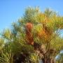 Banksia spinulosa var 'Cunninghamii' (Banksia spinulosa var 'Cunninhamii')