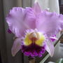 Cattleya_the_king_of_orchids_