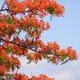 """Delonix regia """"poinciana"""" (Delonix regia (Acacia Roja))"""
