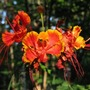 Caesalpinia pulcherrima .  COMMON NAME ,Dwarf Poinciana (Caesalpinia pulcherrima (Barbados Flower Fence))