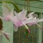 Schlumbergera truncatus
