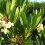 ARBUTUS ANDRACHNOIDES (Ericaceae Arbutus andrachnoides)