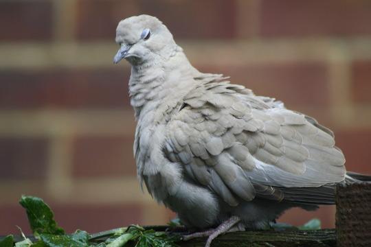 A dove....
