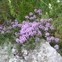 Thyme in the wild (Thymus)