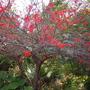 Erythrina humeana -  Dwarf Coral Tree Flowers (Erythrina humeana -  Dwarf Coral Tree Flowers)
