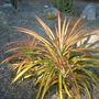 Puya chilensis - Puya??? (Puya chilensis - Puya)