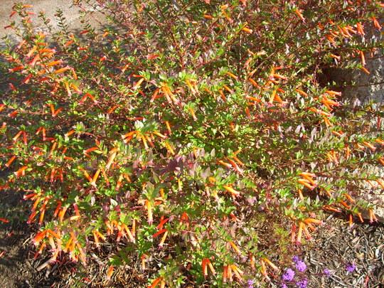 Cuphea hybrid - False Healther (Cuphea hybrid - False Healther)