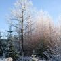 The Wee Wood (Frosty Trees)