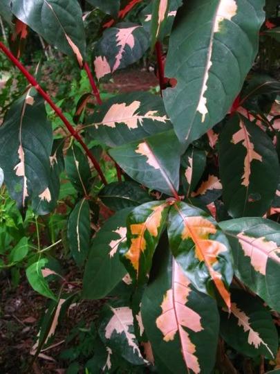 Graptophyllum pictum variegated shrub (Graptophyllum pictum variegated)