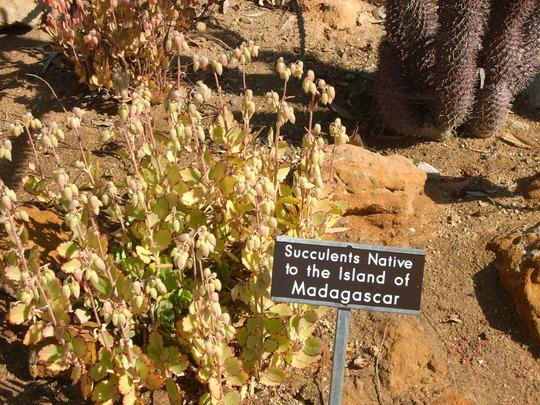 Kalanchoe laxiflora - Kalanchoe (Kalanchoe laxiflora - Kalanchoe)