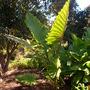 Alocasia portadora - Elephant Ear Plant (Alocasia portadora - Elephant's Ears)