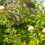 Calliandra haematocephala 'alba' - White Powder Puff (Calliandra haematocephala 'alba' - White Powder Puff)