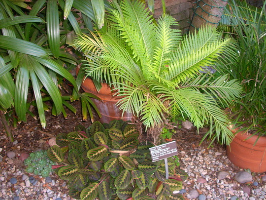 Maranta leuconeura - Prayer Plant and Blechnum gibbum - Dwarf Tree Fern (Maranta leuconeura - Prayer Plant and Blechnum gibbum - Dwarf Tree Fern)