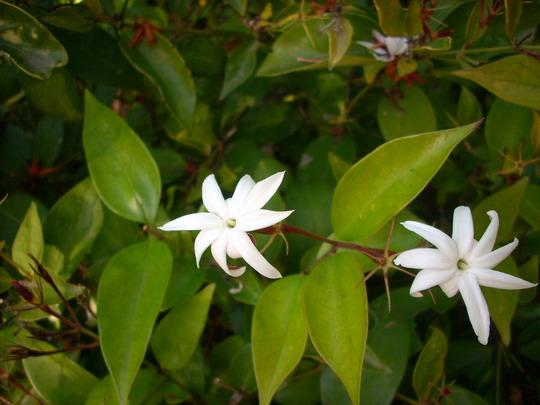 Jasminum nitidum - Angelwing Jasmine (Jasminum nitidum - Angelwing Jasmine)
