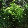 Brunsfelsia americana  the whole shrub (Brunsfelsia americana)
