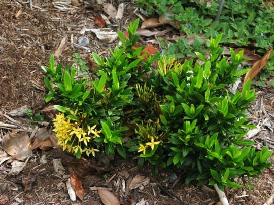 """Ixora dwarf """"sunshine"""" (Ixora chinensis dwarf  yellow """"sunshine"""")"""