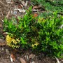 "Ixora dwarf ""sunshine"" (Ixora chinensis dwarf  yellow ""sunshine"")"