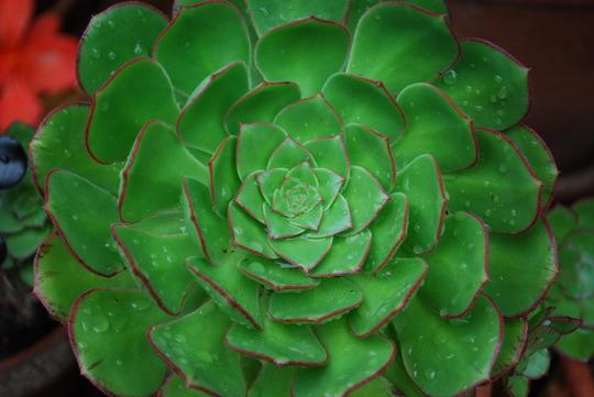 Succulent in the rain.......