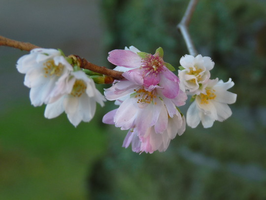 Winter - flowering Cherry.