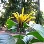 flower of Justica aurea  (Juatica aurea flower)