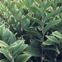 A garden flower photo (Polygonatum odoratum)