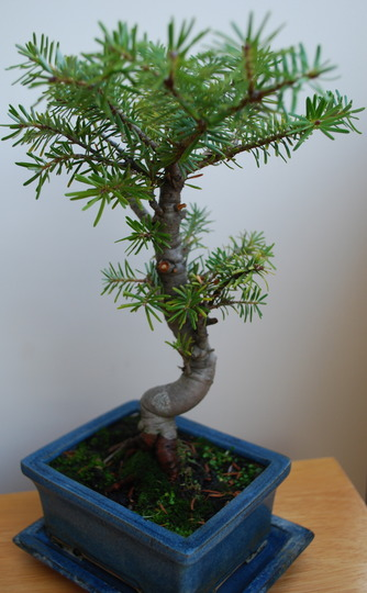 Bonsai Abies........