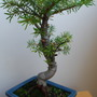 Bonsai Abies........ (Abies koreana)