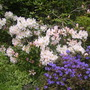 rhodie and azalea (rhododendron)