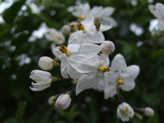 Solanum laxum 'Album' (Solanum laxum)