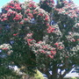Pohutukawa Tree- New Zealand Xmas Tree