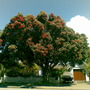 Pohutukawa tree in bloom