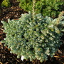 Abies koreana 'Kohout's Ice Breaker' (Abies koreana)