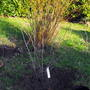 "Hawthorne Planted 11am Tree O`Clock 5/12/09  ""Blog"""