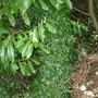 ivy pillar (hedera helix)