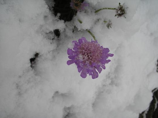 First snowfall Dec 2009 (Scabiosa atropurpurea (Pincushion flower))