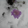 First snowfall Dec 2009 (Scabiosa atropurpurea (Pincushion flower))