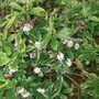 DAPHNE FLOWERS BUSH