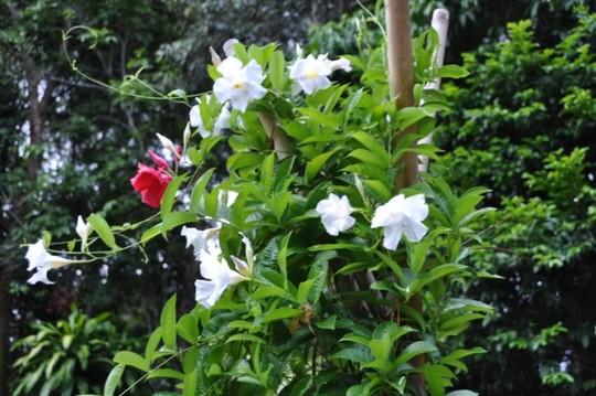 Mandevilla vine red/white flowers (Mandevilla sanderi vine)
