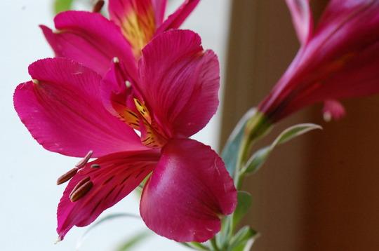 Alstroemeria 'Phoenix' (Alstroemeria)