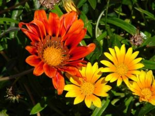 Collection of gazania's