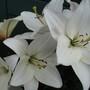 Free Lillies
