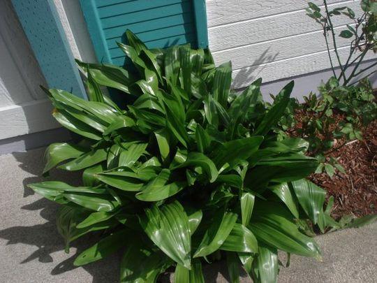 WAXY PLANT