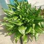 WAXY PLANT2
