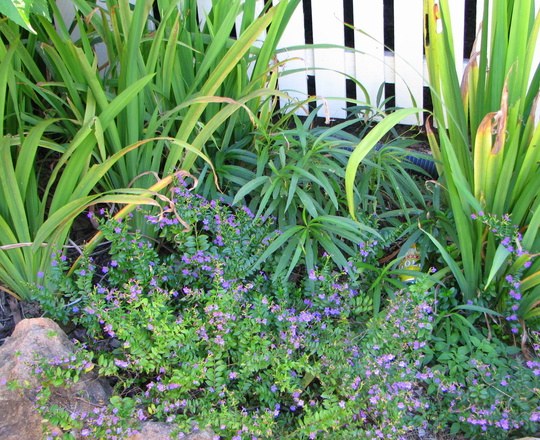 Early summer downunder:  Cuphea hyssopifolia - Mexican False Heather (Cuphea hyssopifolia (Hawaiian Heather))