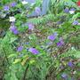 Early summer downunder: Brunfelsia latifolia syn. bonodora - Yesterday, Today, Tomorrow shrub